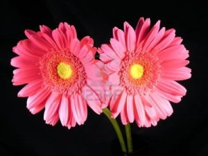 337915-two-pink-and-yellow-gerber-daisy-stems-on-a-black-background
