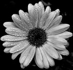 daisy black & white (2)